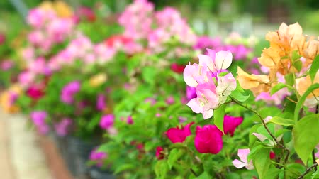 magenta flowers : Bougainvillea pink colors are blooming in the garden in summer