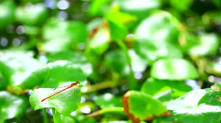 fragilidade : Damselfly sticks on the dry branches and cleaning eye in the pond background Stock Footage
