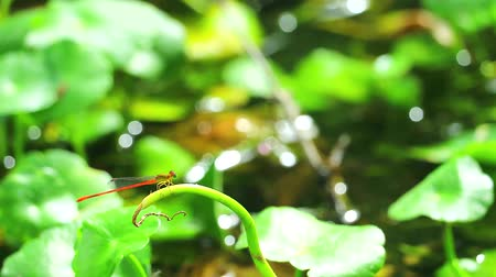 fragilidade : Damselfly sticks on the dry branches in the pond1