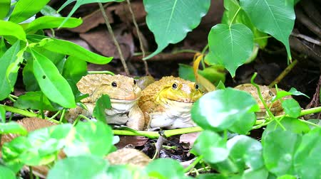 tree frog : Frogs live away from the sun in shade of trees and are active at night1