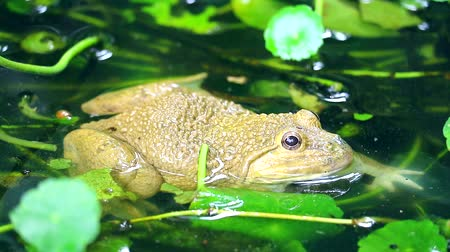 žába : Frogs live away from the sun in water and are active at night2 Dostupné videozáznamy