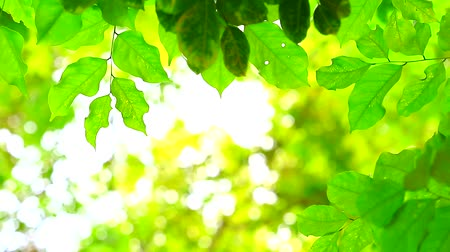 sun beam : green leaves blur colorful of  sunlight and tree in garden background