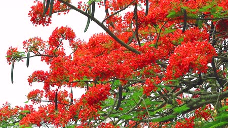 tavuskuşu : red flame tree flower blooming in the garden Stok Video