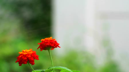 weeping : red lantana camara flower in garden blooming and dancing by wind