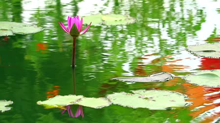 leknín : reflection of lotus pink flower booming in pond and rain fall on leaves1 Dostupné videozáznamy