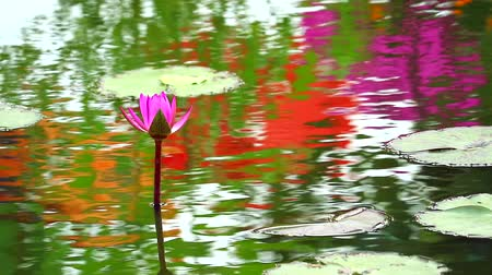 leknín : reflection of lotus pink flower booming in pond and rain fall on leaves
