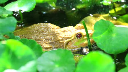 tree frog : Frog live away from the sun in shade of trees and relax in water
