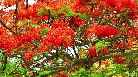 tavuskuşu : red flame tree flower blooming green leaves in the garden Stok Video