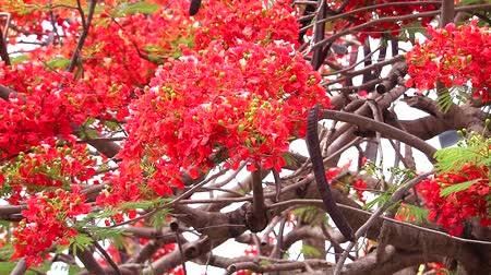 tavuskuşu : red flame tree flower blooming in the garden, pan lift to right