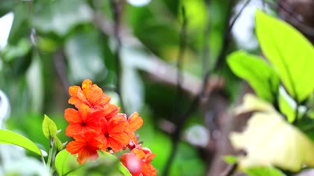 escarlate : Geiger tree or cordia has red orange flowers and blue background Stock Footage