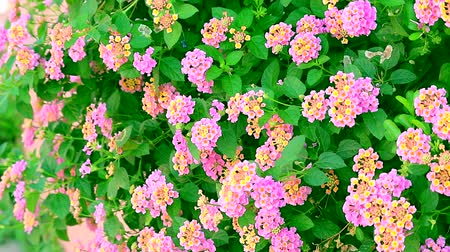 weeping : pink yellow lantana camara flower in garden blooming and dancing by wind Stock Footage