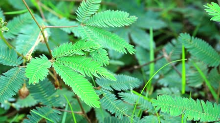 ot : sensitive plant or sleepy plant has fold the leaves when touched1