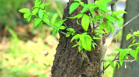 termite : Termites build a nest on a tree after rain, vertical foot to top of plant