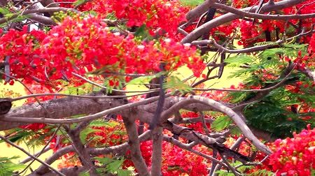 tavuskuşu : flame tree flower blooming in the garden, pan left to right