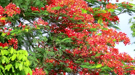 paw : Flame Tree or Royal Poinciana in public park moving by soft wind
