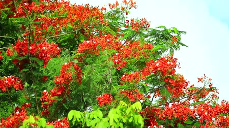 tavuskuşu : Flame Tree or Royal Poinciana in public park moving by soft wind1