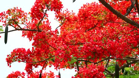 tavuskuşu : Flame Tree or Royal Poinciana in public park moving by soft wind