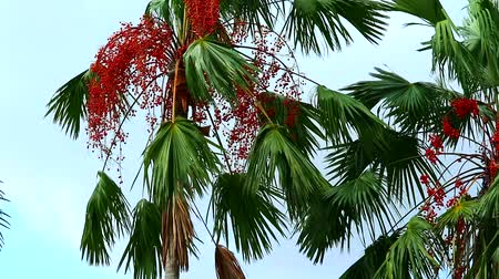 crescido : panning to red palm seed on tree in the garden