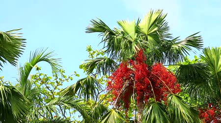 areca : red palm seed on tree and other tree in the garden moving by wind