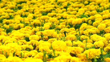 azték : Mexican marigold yellow flowers panning to the field and meadow in summer