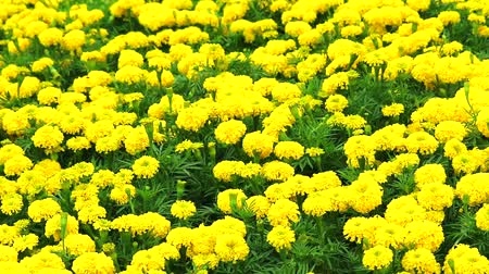 azték : Mexican marigold yellow flowers panning to the field in summer