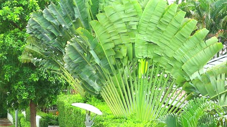 krzew : travellers tree large leaves grow in the garden and protect the sun and shade