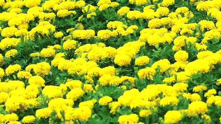 litter box : Mexican marigold yellow flowers panning to the field in summer