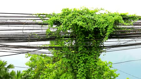 cabling : Weeds vines grow and creep along the electric pole. And cable Is an environmental problem
