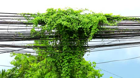 cabling : Weeds vines grow and creep along the electric pole. And cable Is an environmental problem1