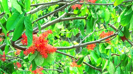 söğüt : Ashoka tree or Saraca or Sorrowless tree has Red flower bunch and two butterfly flying Stok Video