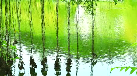 banyan : reflection roots of banyan tree swing on water surface in lake Stock Footage
