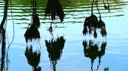 banyan : reflection roots of banyan tree swing on water surface in lake4
