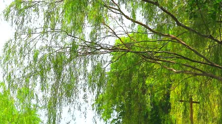 söğüt : weeping willow tree and light green leaves line in the garden2