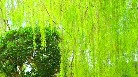 havlama : weeping willow tree and light green leaves line in the garden