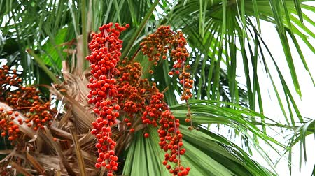 areca : colorful red palm seeds on palm tree in garden and green leaves moving