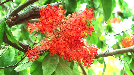 söğüt : Ashoka or Saraca or Sorrowless tree has Red flower bunch and butterfly flying Stok Video