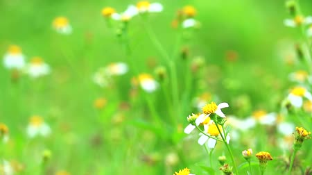 grass flowers : Blackjack or Bidens pilosa in green field, benefit tender shoots are eaten boiled or stir-fried