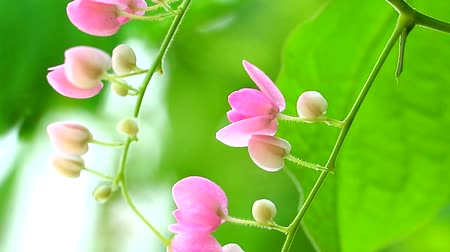 ot : Mexican Creeper plant has pink bouquet flowers blooming on tree in park
