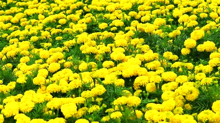 azték : Mexican marigold yellow flowers panning to the field in summer1