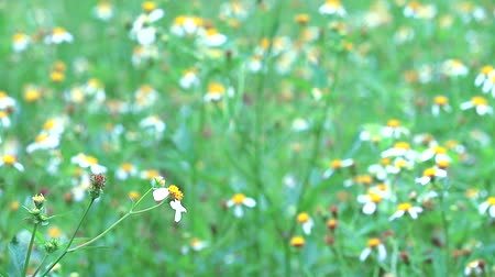 compositae : Blackjack, Bidens pilosa in green field white flower background Stock Footage