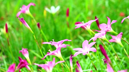 estames : Fairy Lily or Rain Lily pink flower blooming in green garden