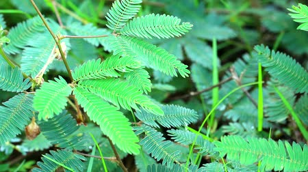 touched : sensitive plant or sleepy plant has fold the leaves when touched2 Stock Footage