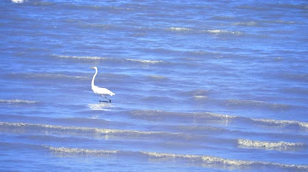 tengeri : Egret are looking for seafood by the beach1