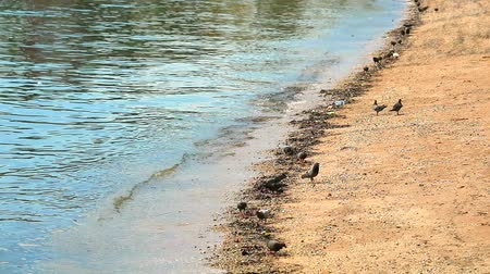 waste water : Pigeons are looking for food from waste on the beach Stock Footage