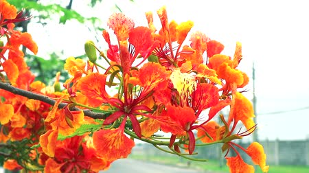 barbados : Red Caesalpinia pulcherrima flowers are blooming in the garden