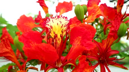 barbados : Red Caesalpinia pulcherrima flowers are blooming in the garden1