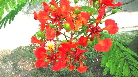 barbados : Red Caesalpinia pulcherrima flowers are blooming in the garden2 Stock Footage