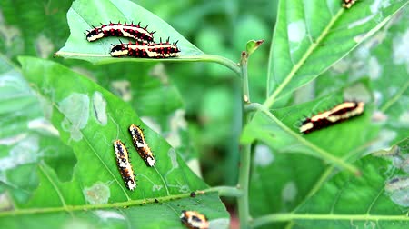 güve : worms are eating all leaves to accumulate energy during the body of a butterfly