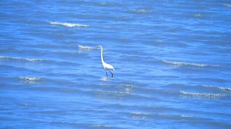 nemes kócsag : Egret are looking for seafood by the beach Stock mozgókép