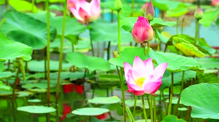 безмятежность : Pink Lotus Flower full blooming in the pond and blur pad on water background Стоковые видеозаписи